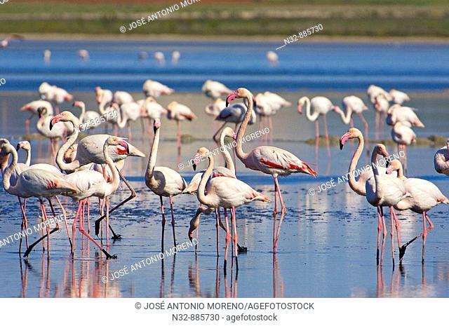 Greater Flamingo (Phoenicopterus ruber), Fuente de Piedra Lagoon. Malaga province, Andalusia, Spain
