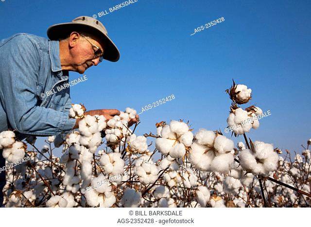 Agriculture - A farmer (grower) inspects his mature harvest stage high yield cotton crop to determine when to begin the harvest / near England, Arkansas, USA
