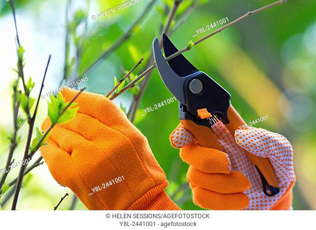 Woman's Hands in Gardening Gloves with Shears Pruning Plants in the Garden
