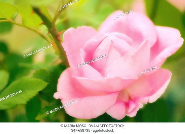 Pink Rose. Rosa hybrid. May 2007, Maryland, USA