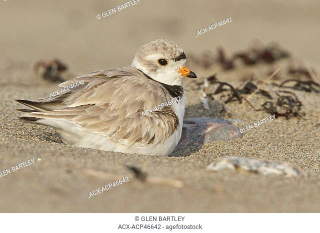 Piping Plover Charadrius melodus feeding along the shoreline of Newfoundland, Canada