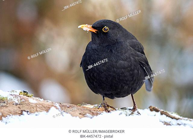 Eurasian or common blackbird (Turdus merula), male in snow, Biosphere Reserve Swabian Alb, Baden-Württemberg, Germany