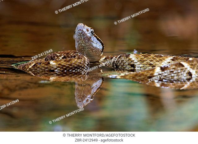 Bothrops atrox. Lancehead pit viper in a pond. Forest. French Guiana