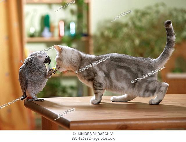 animal friendship : British Shorthair cat and Congo African Grey parrot restrictions:Tierratgeber-Bücher / animal guidebooks