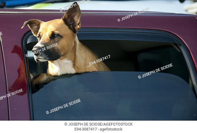 A large brown dog with his head out of a car window looking to the left