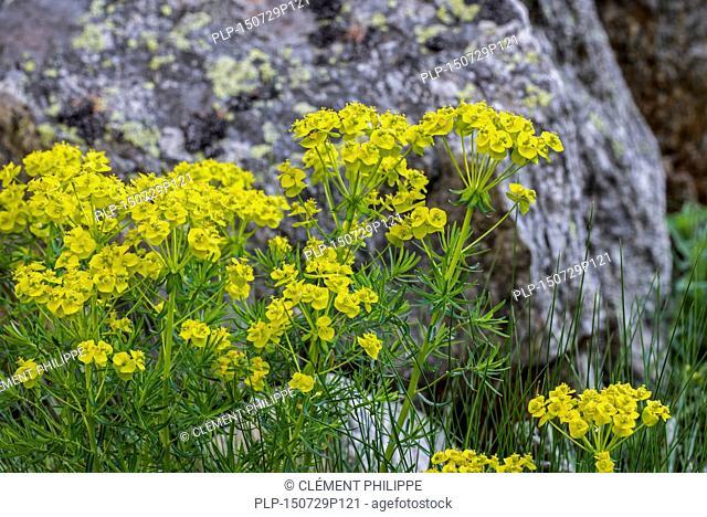 Cypress spurge (Euphorbia cyparissias) in flower