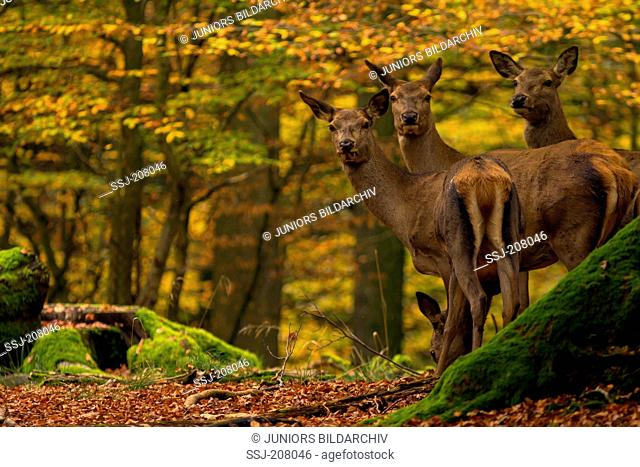 Red Deer (Cervus elaphus). Two hinds and a fawn in autumnal forest. Germany