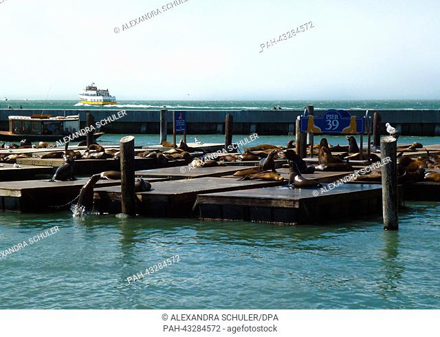 Sea lions (Zalophus californianus) gather on the jetties and pontoons at Pier 39 in San Francisco, California, United States of America, 28 August 2013