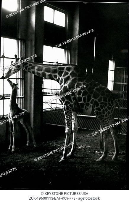 1962 - Spotless Giraffe born in Tokyo.: A spotless baby giraffe has been born at Ueno Zoo in Tokyo. THe rare little animal has none of the usual markings of the...