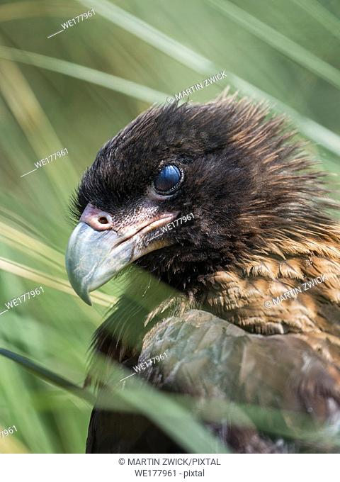 Nictitating membrane in juvenile with typical pale skin in face. Striated Caracara or Johnny Rook (Phalcoboenus australis), protected