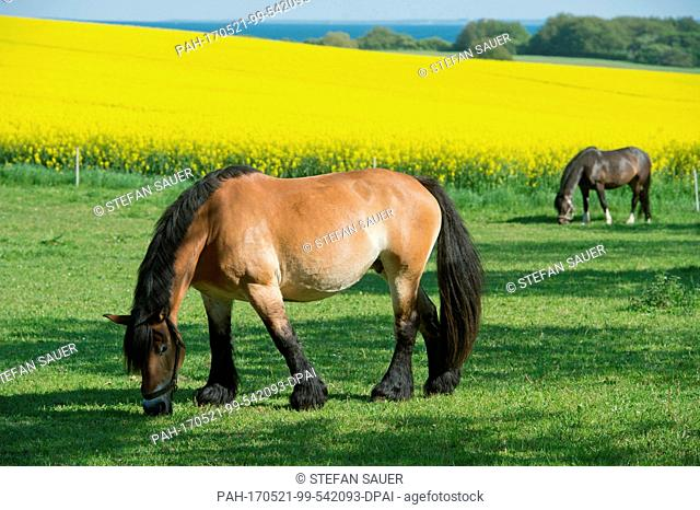 Horses graze on a field close to Putbus on the island of Ruegen, Germany, 21 May 2017. During nicest summer weather the tourist have an exceptional view...