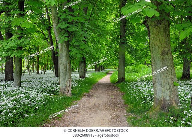 Footpath through Chestnut trees surrounded of blooming Ramsons (Wild garlic), (Allium ursinum) in spring at castle Park Putbus, Insel Rügen, Isle of Ruegen