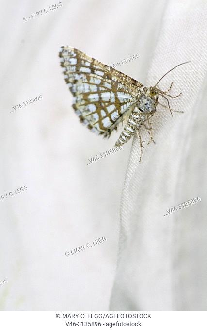 Latticed Heath, Chiasmia clathrata. Small white diurnal moth with dark lattice markings. Host plant: Trifolium, Medicago, Vicia or Genista