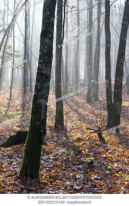 Autumnal morning in the forest with mist and alder trees,Bialowieza Forest, Poland, Europe