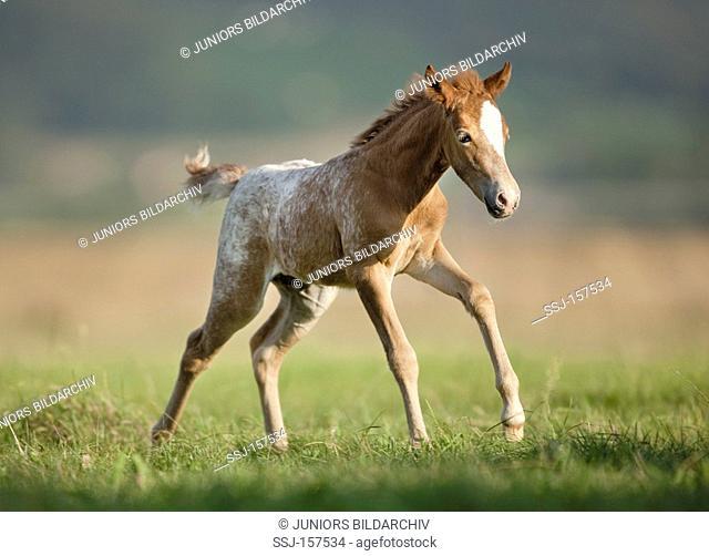 Knabstrup horse - foal on meadow