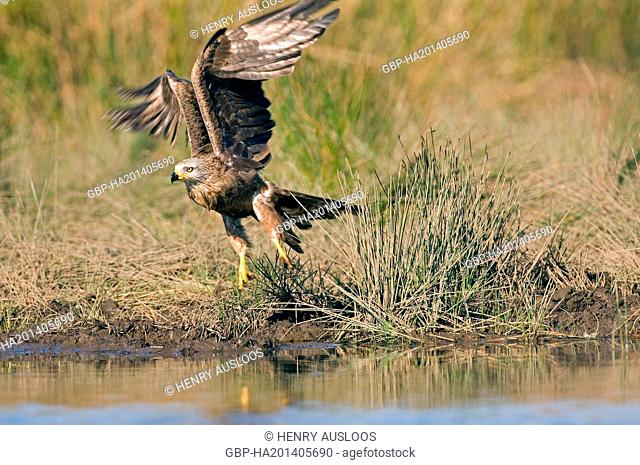 Black Kite, Milvus migrans, take off