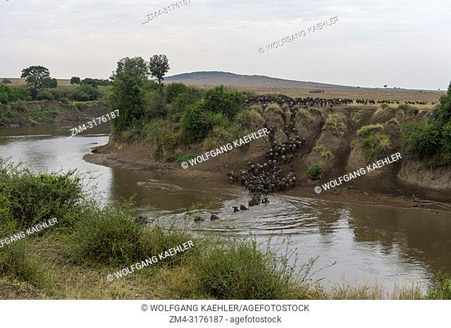 Wildebeests, also called gnus or wildebai, decending the steep bank of the Mara River in the Masai Mara in Kenya and crossing it