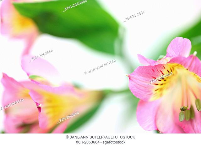 beautifully delicate image of the loved alstroemeria