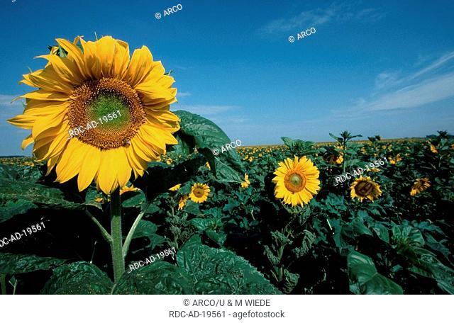 Sunflower field Hungary Helianthus annuus