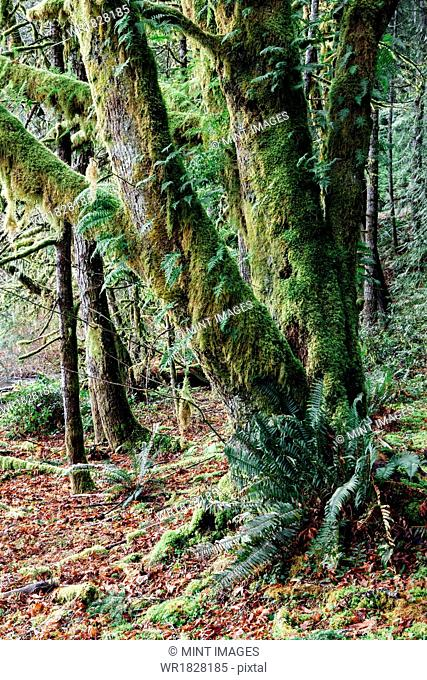 Lush temperate rainforest along the shores of Lake Crescent, mature trees with lichen covered branches reaching towards the light
