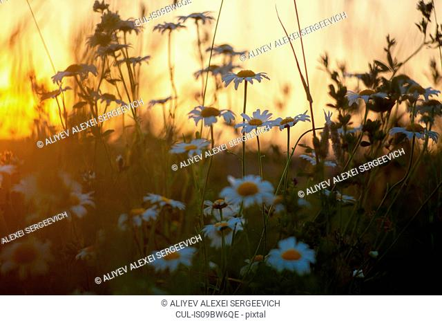 Field with wild daisies at sunset, close up