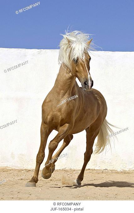 Barb horse - galloping