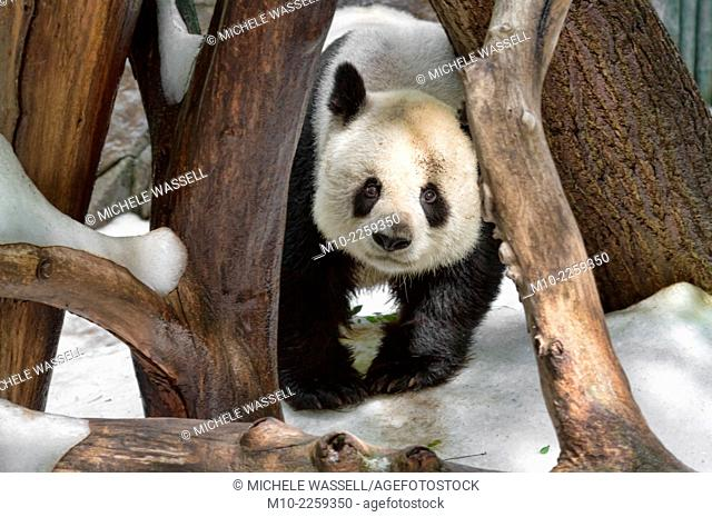 An adult Giant Panda bear looking through the tree in the snow