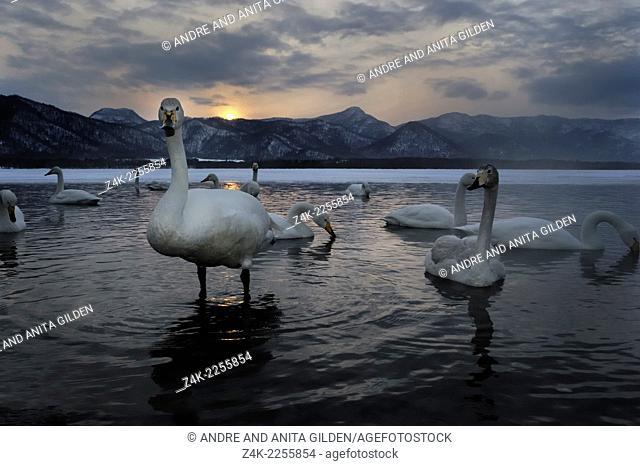 Whooper Swan (Cygnus cygnus) in open spot of frozen Lake with sunset