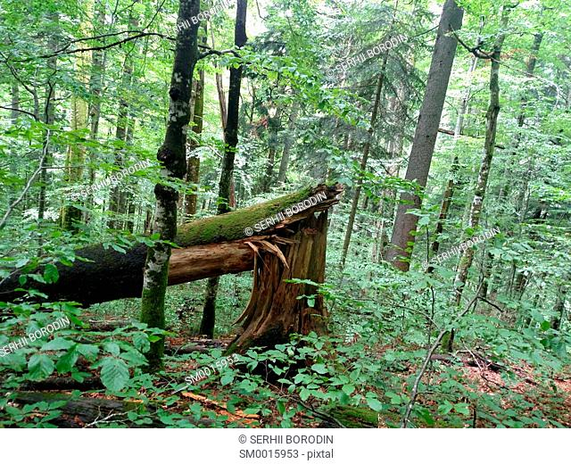 Broken tree beech in leafs forest on mountain slope nature