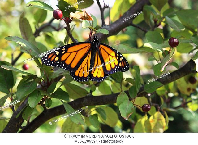 Close up of a male Monarch butterfly with wings spread resting in a Malus Prairifire Crabapple tree in Trevor, Wisconsin, USA