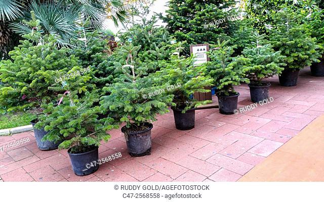 Christmas trees for sale in a Garden Center, Mataró, Catalunya, Spain