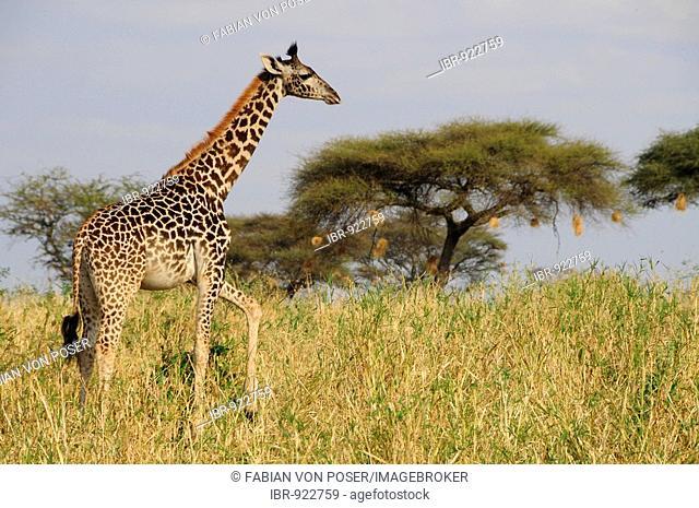 Massai-Giraffe (Giraffa camelopardalis tippelskirchi), Tarangire-National Park, Tanzania, Africa