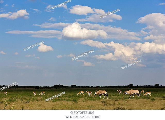 Africa, Botswana, Gemsbok in central kalahari game reserve