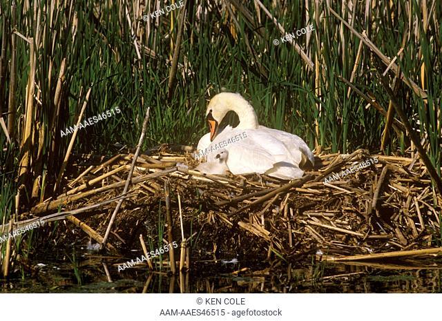 Mute Swan w/ Cygnet (Cygnus olor) N. Lower Michigan