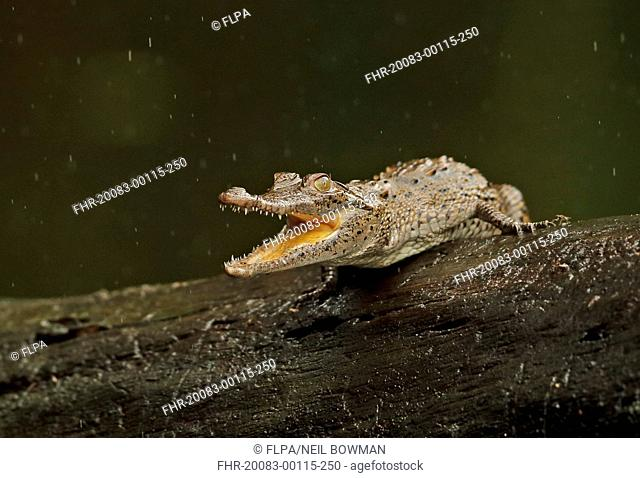 American Crocodile (Crocodylus acutus) juvenile, with mouth open, resting on log during rainfall, Cuero y Salado, Honduras, February