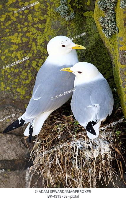 Black-legged Kittiwake (Rissa tridactyla) pair on nest, Isle of May, Fife, Scotland, United Kingdom