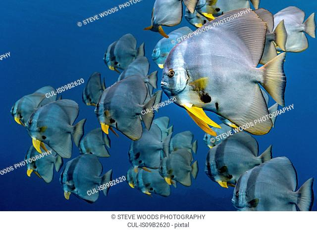 School of Longfin Batfish (Platax Teira), Aliwal Shoal, South Africa