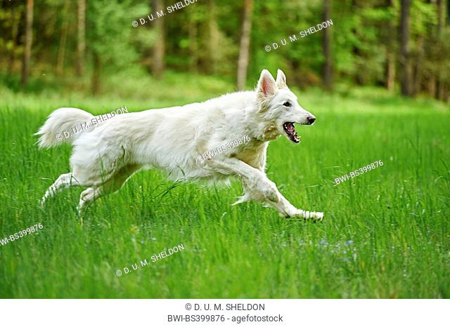 Berger Blanc Suisse (Canis lupus f. familiaris), Berger Blanc Suisse running in a meadow, Germany