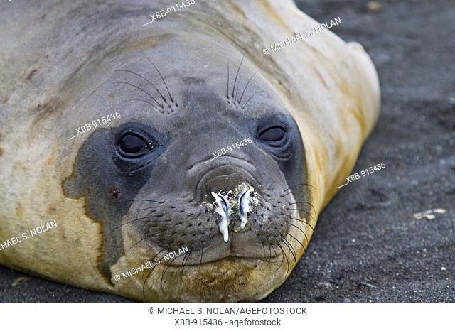 Young southern elephant seal Mirounga leonina close-up on the beach at South Georgia in the Southern Ocean  There is much mock-fighting among males on the beach...