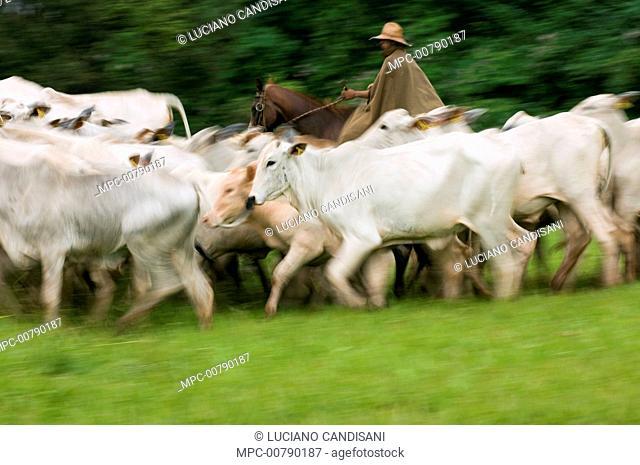 Domestic Cattle (Bos taurus), Zebu breed, and cowboy on a farm, Sao Paulo, Brazil
