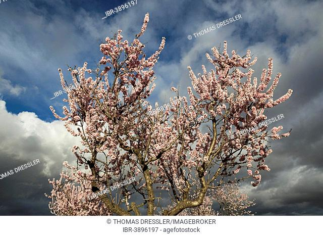 Cultivated Almond tree (Prunus dulcis) in full blossom, Almería province, Andalusia, Spain