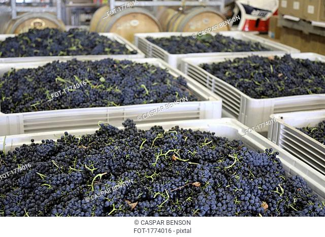 Fresh harvested grapes in large bins in winery