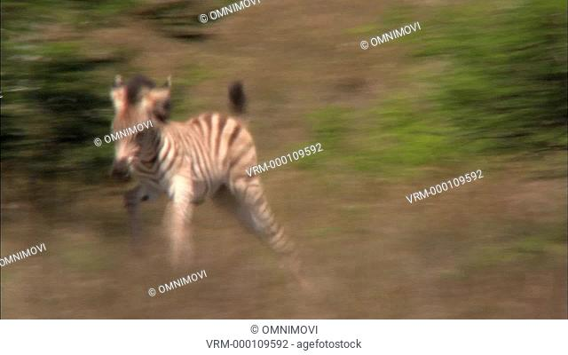 TS WS Plains Zebra foal gamboling / South Africa