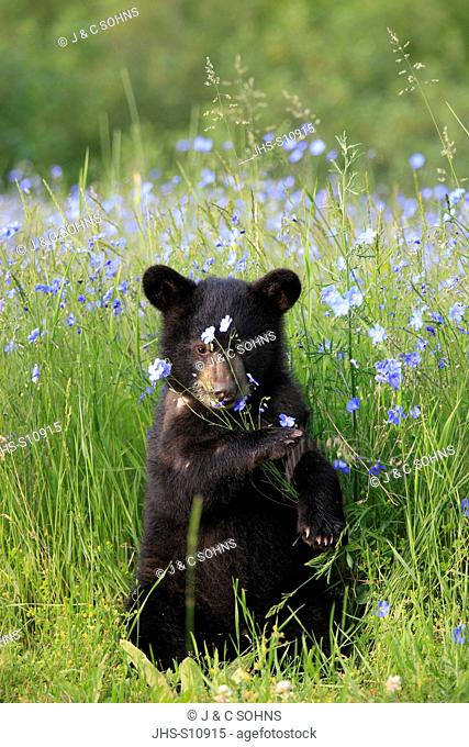 Black Bear,Ursus americanus,Montana,USA,North America,young in meadow