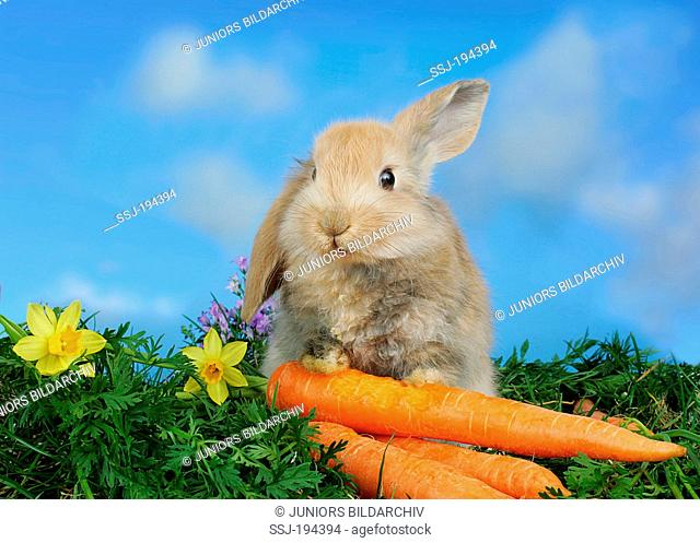 Netherland Dwarf rabbit with carrots. Germany