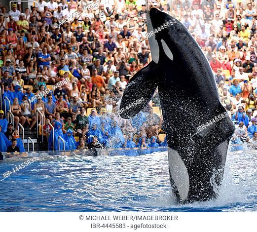 Orca (Orcinus orca) jumping out of the water, Orca show, Loro Parque, Puerto de la Cruz, Tenerife, Canary Islands, Spain