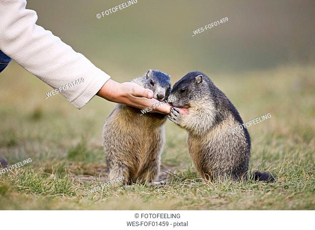 Austria, Person feeding Alpine Marmots Marmota marmota