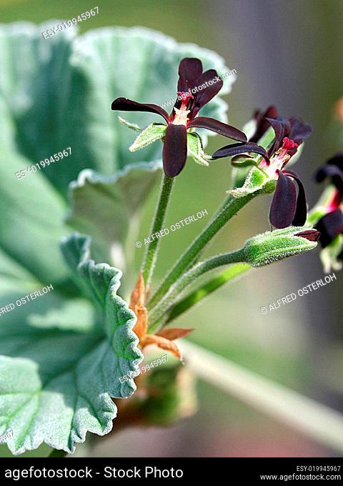 Pelargonium sidoides -Kapland-Pelargonie
