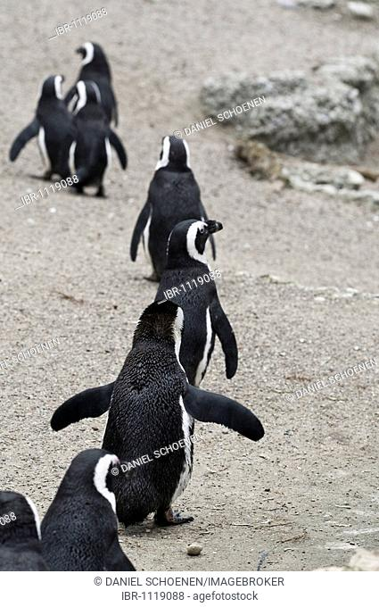 A succession of Humboldt Penguins (Peruvian Penguins)