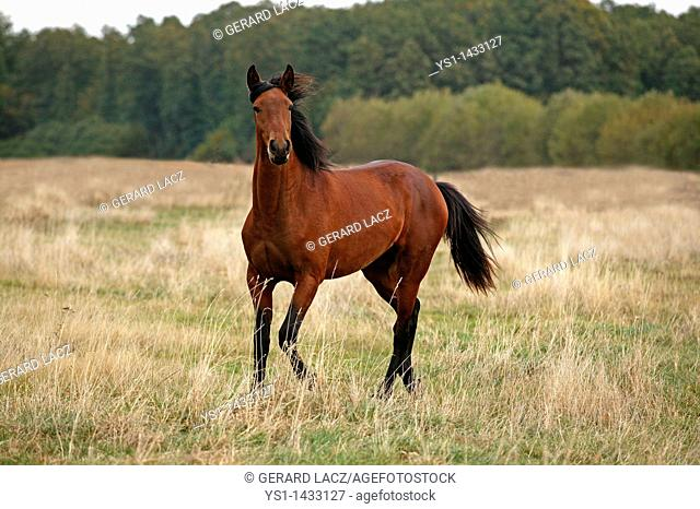 LUSITANO HORSE STANDING ON DRY GRASS